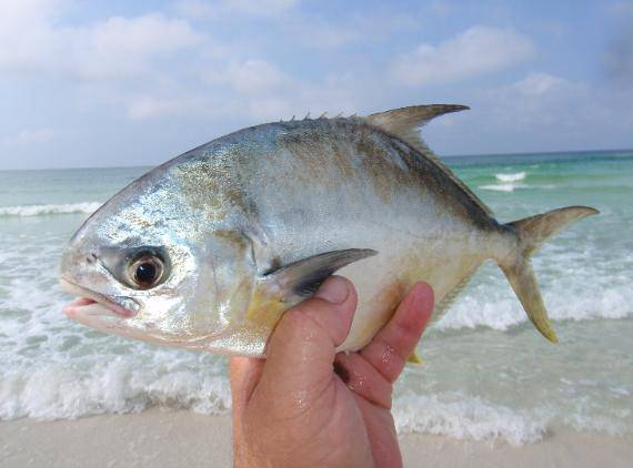 Help us raise our first harvest of florida pompano by joe for Picture of pompano fish